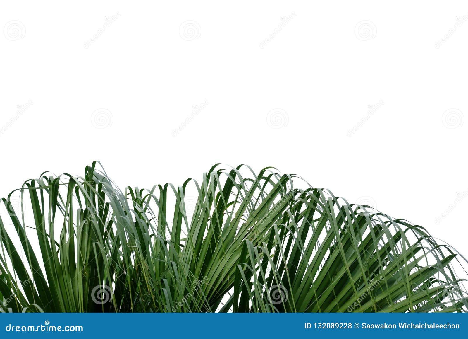 Palmbladen en wind die op wit geïsoleerde achtergrond blazen