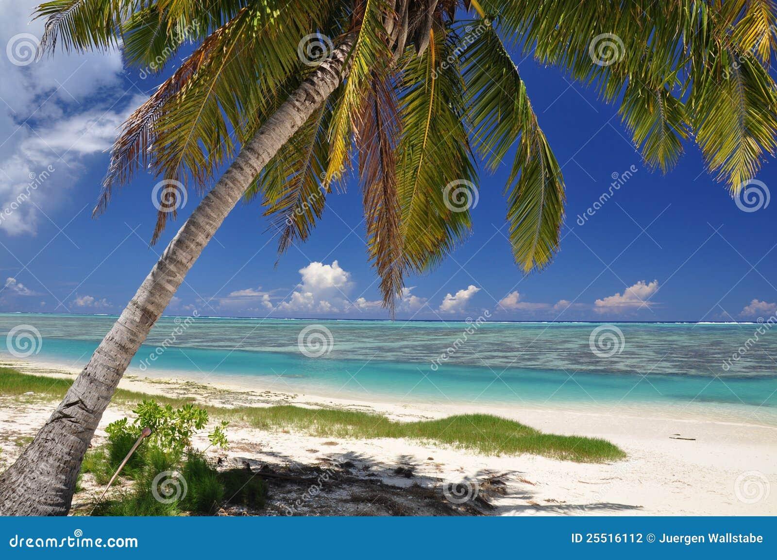 Palme auf Aitutaki - Koch-Inseln