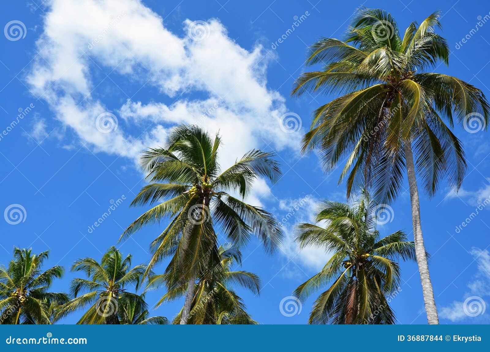 Download Palme verso il cielo fotografia stock. Immagine di campagna - 36887844