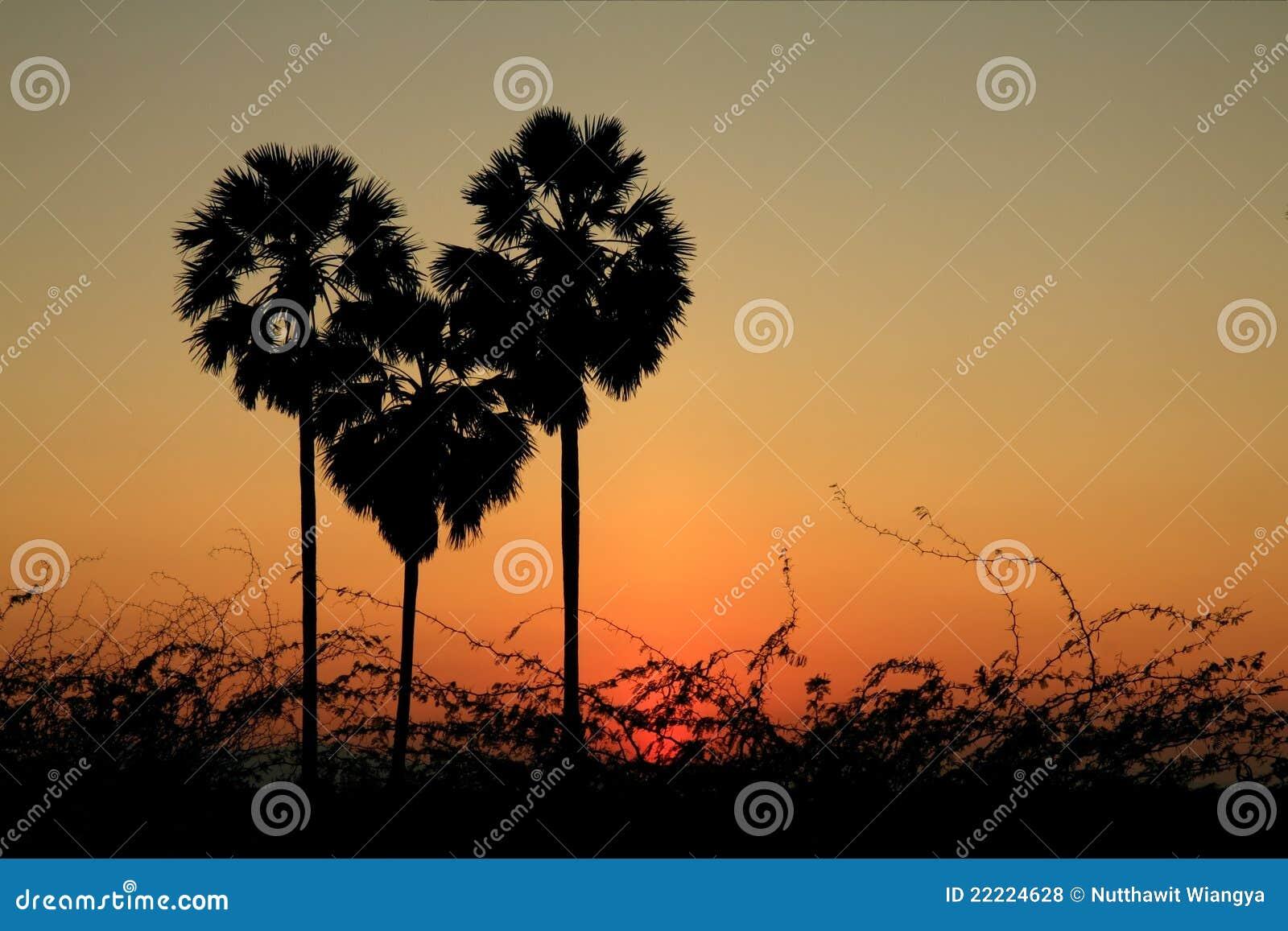 Palmeira da forma do coração