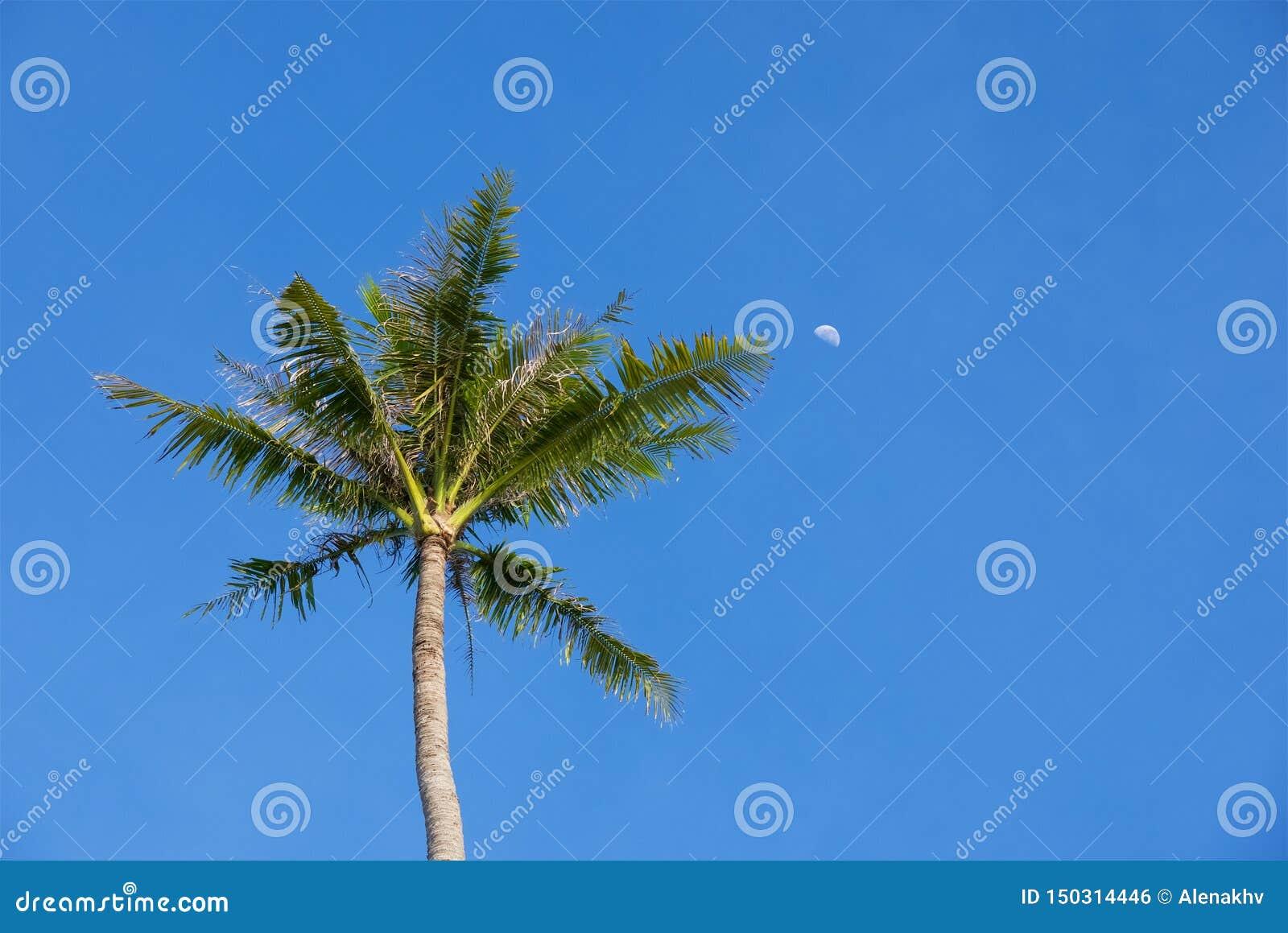 Palmeira e lua tropicais verdes contra um céu azul