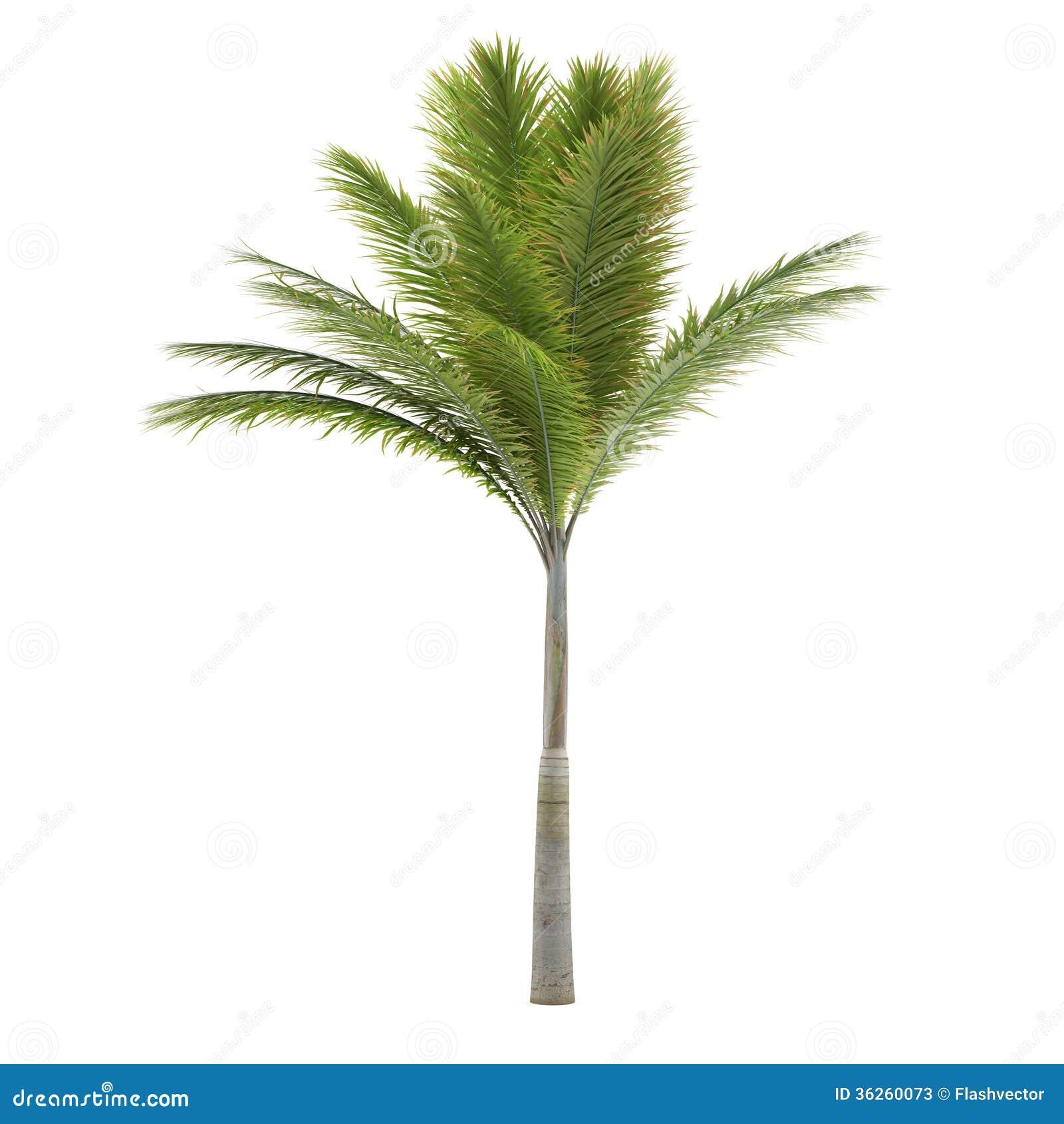 Palmeira isolada. Archontophoenix