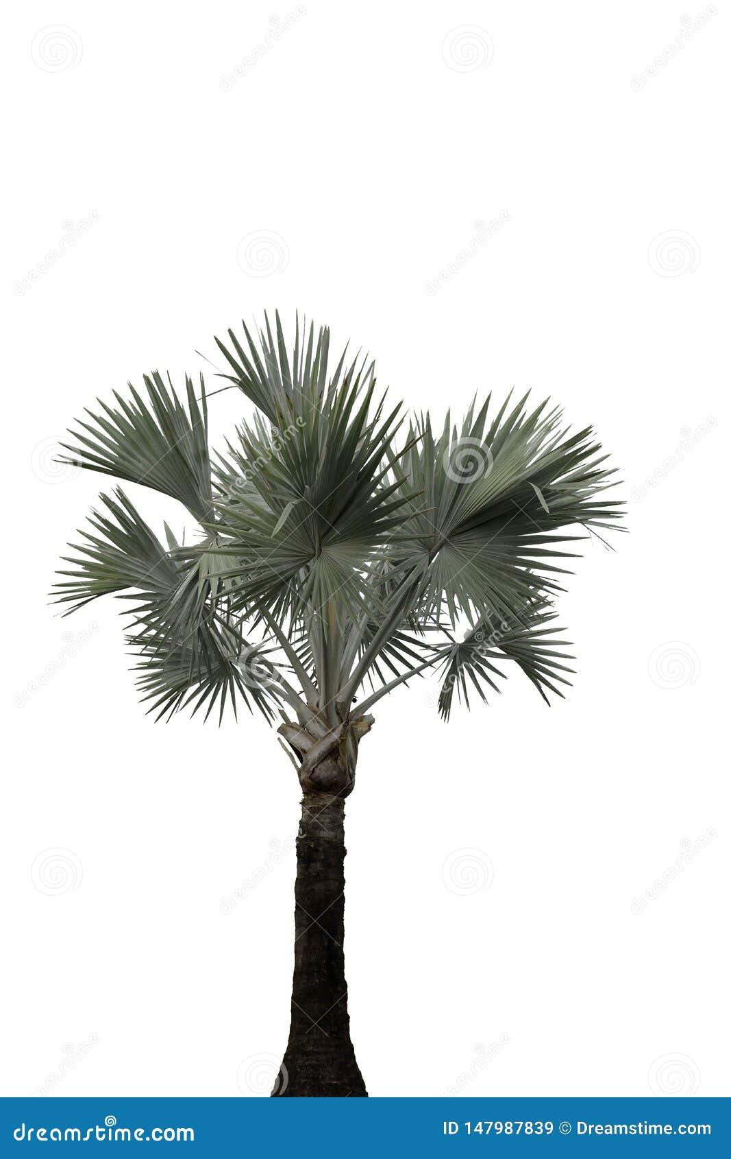 A palmeira isolou sozinho stan