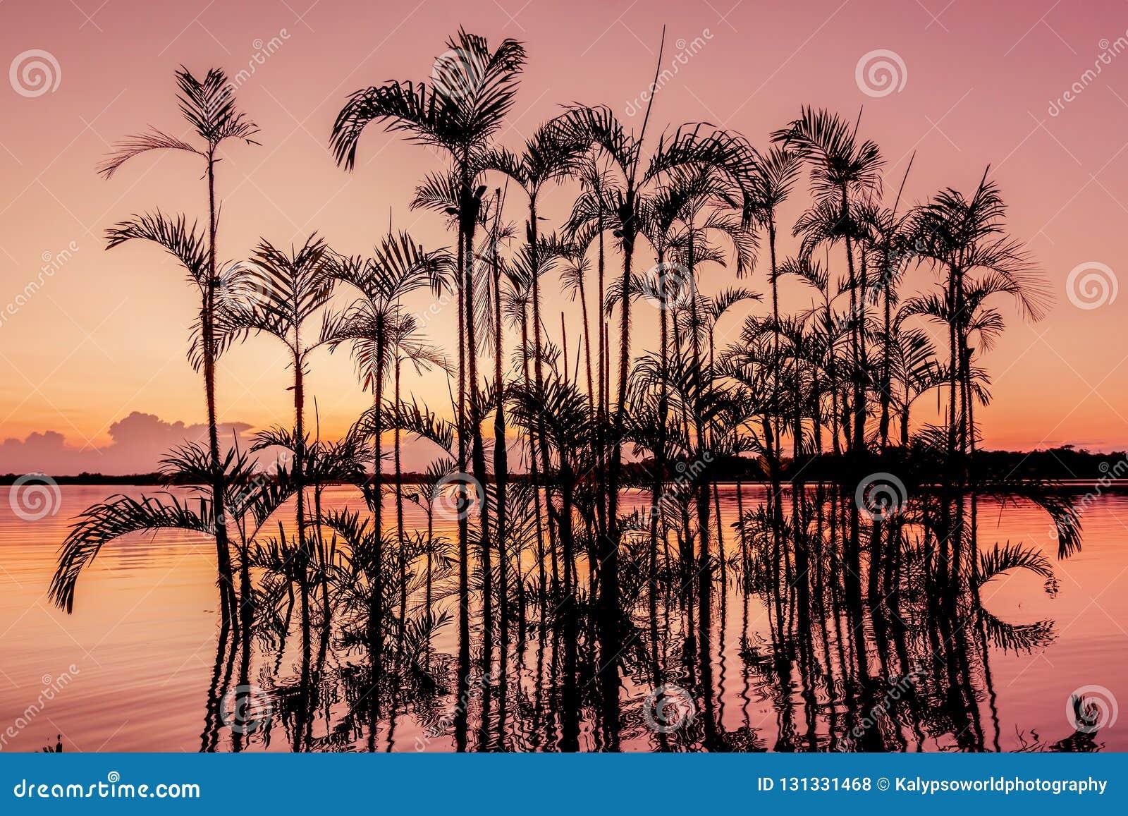 Palmeira mostrada em silhueta no por do sol alaranjado, selva do Amazonas