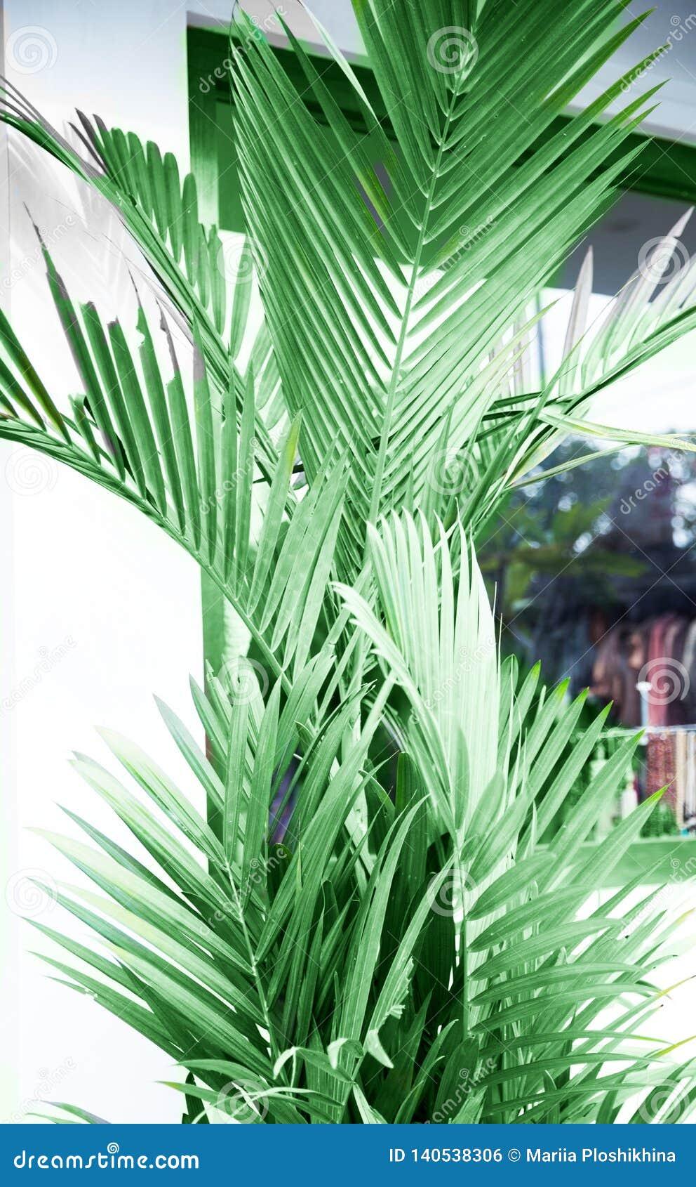Palmeira tropical fechada à parede branca como o elemento da decoração
