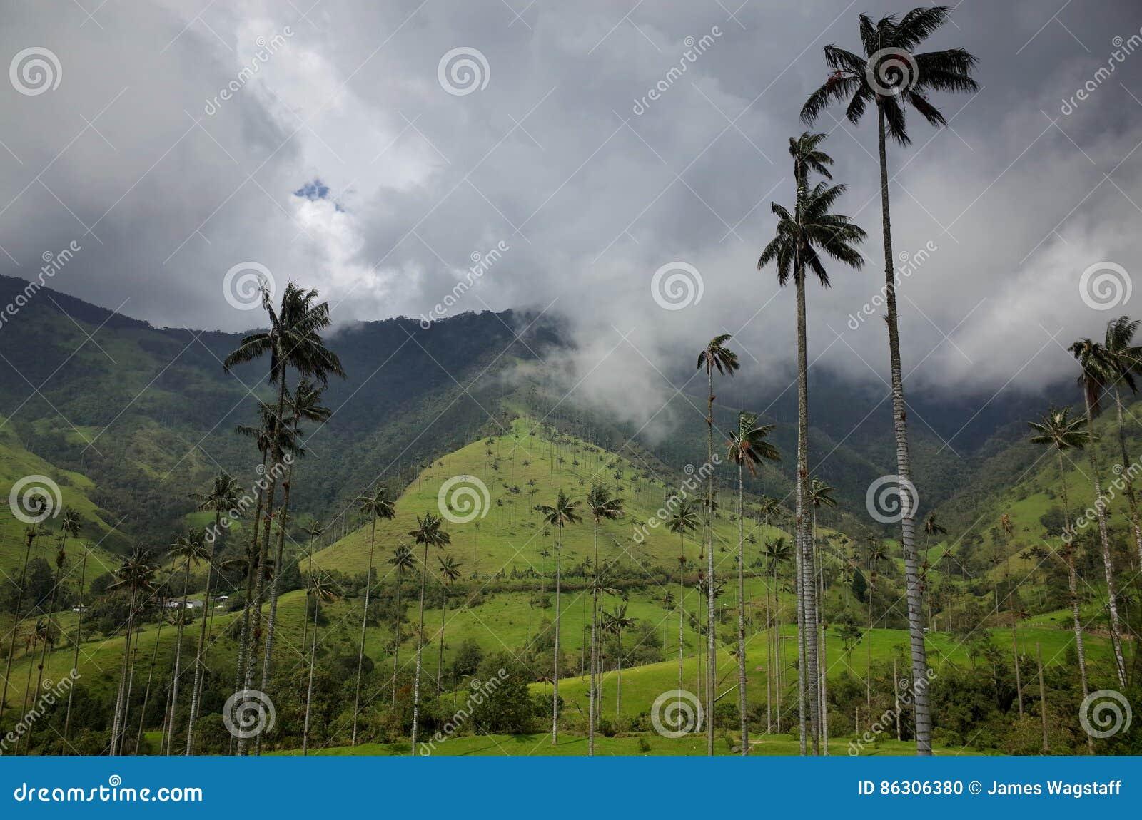 Palmeiras da cera no vale de Cocora