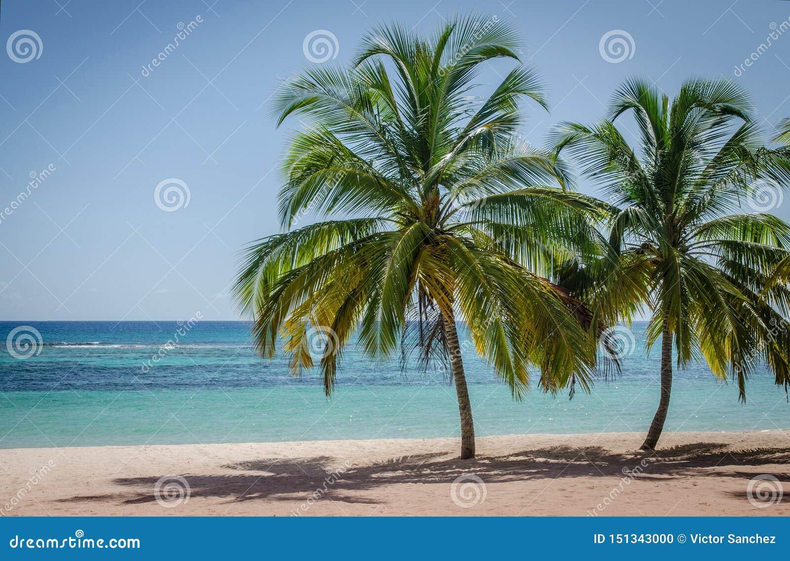 Palmeiras do coco no Sandy Beach branco na ilha de Saona, Rep?blica Dominicana