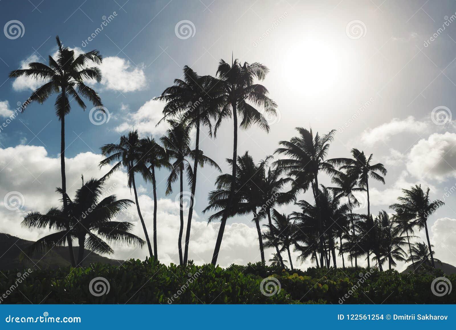 Palmeiras e fundo do céu azul na praia tropical de Oahu