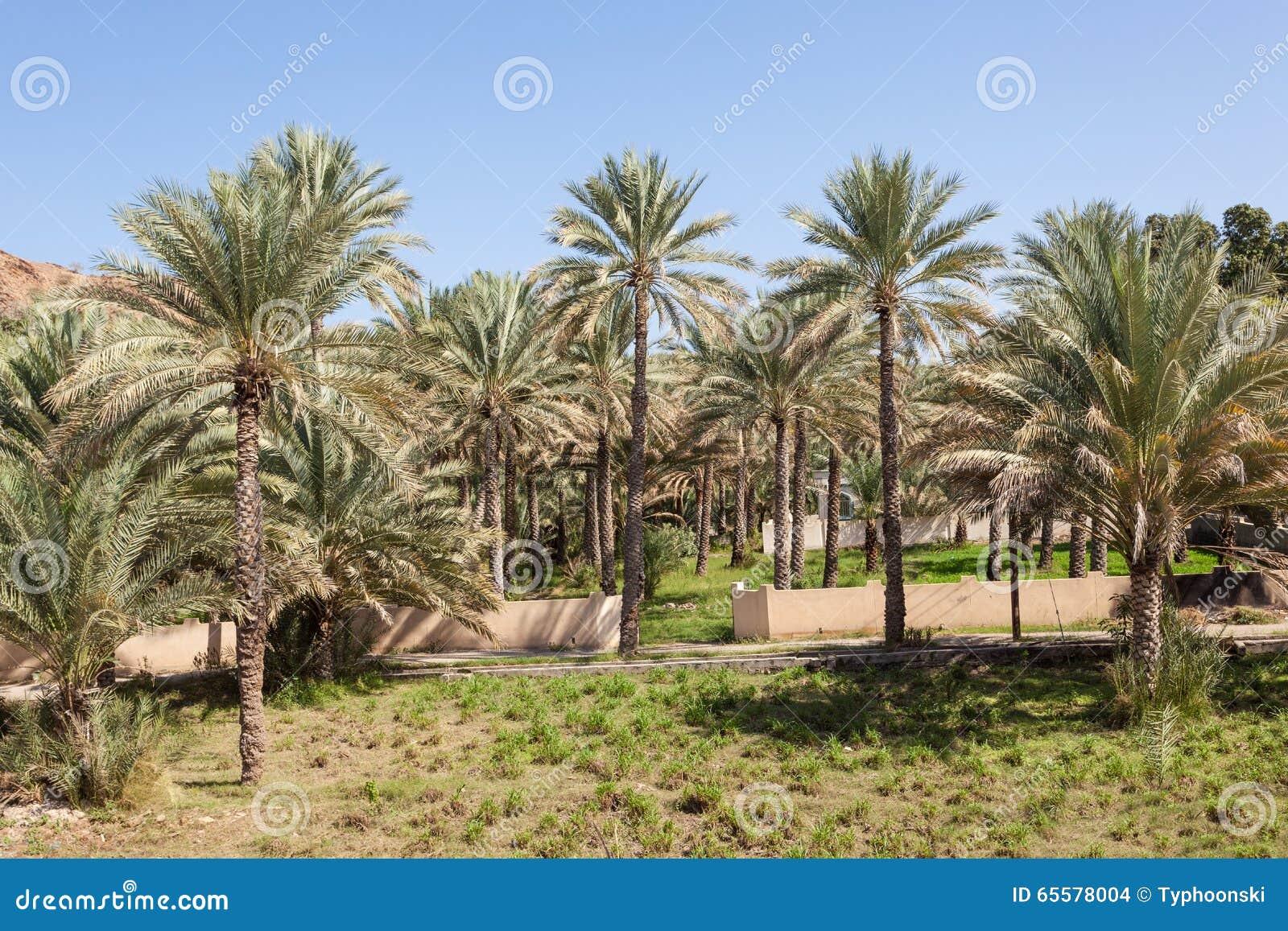 Palmeiras em uns oásis, Omã