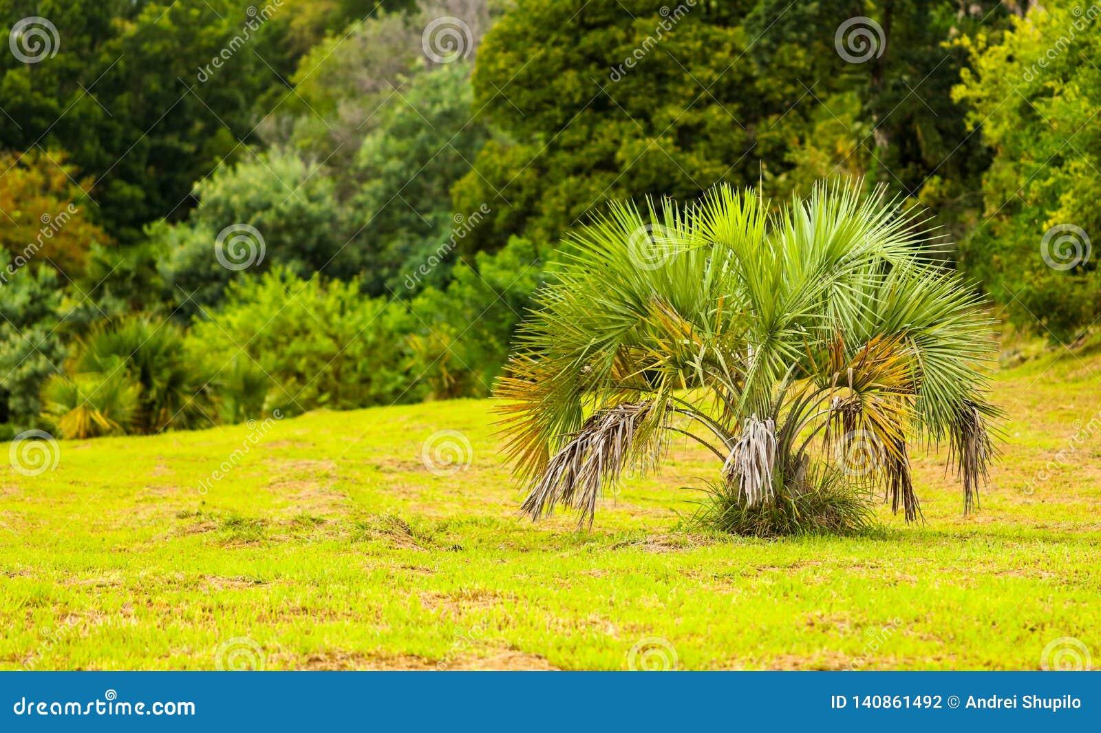 Palmeiras no parque Clima subtropical