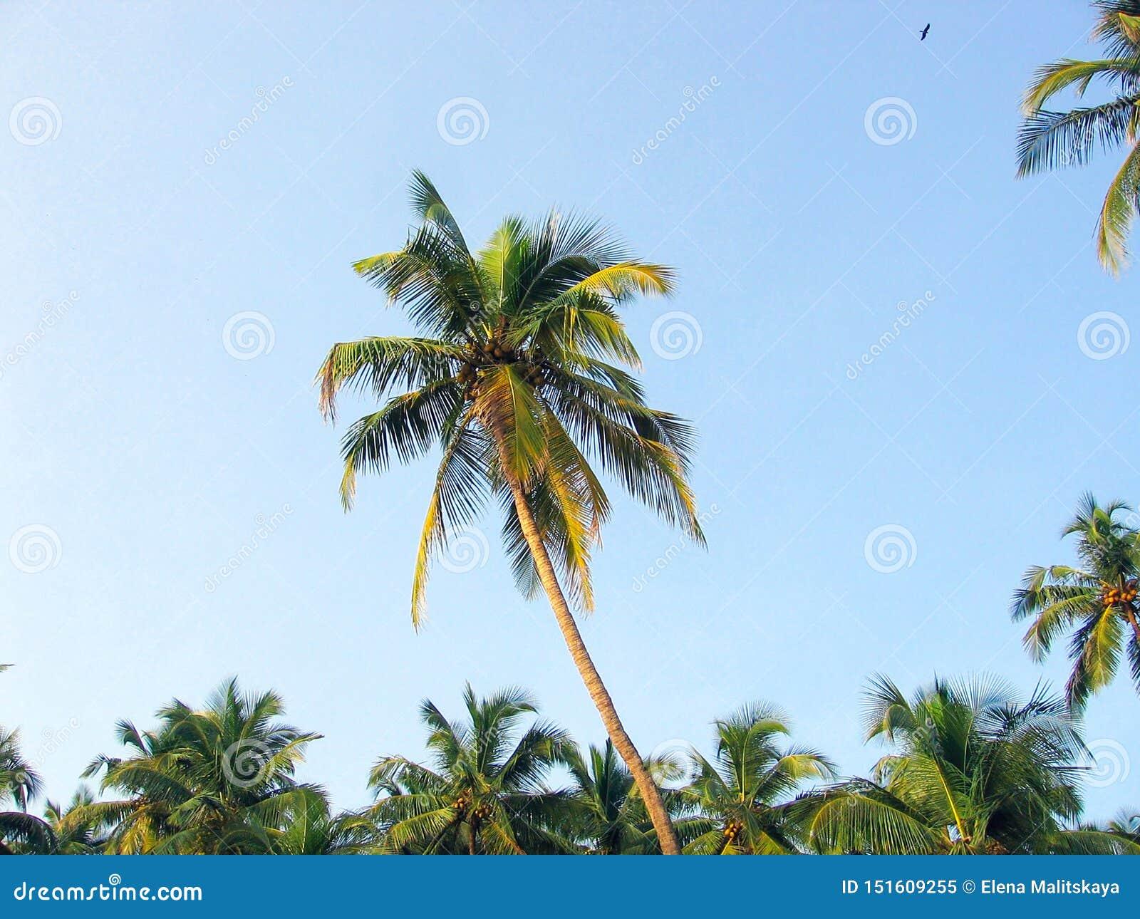 Palmen door de zon tegen de blauwe hemel worden aangestoken die