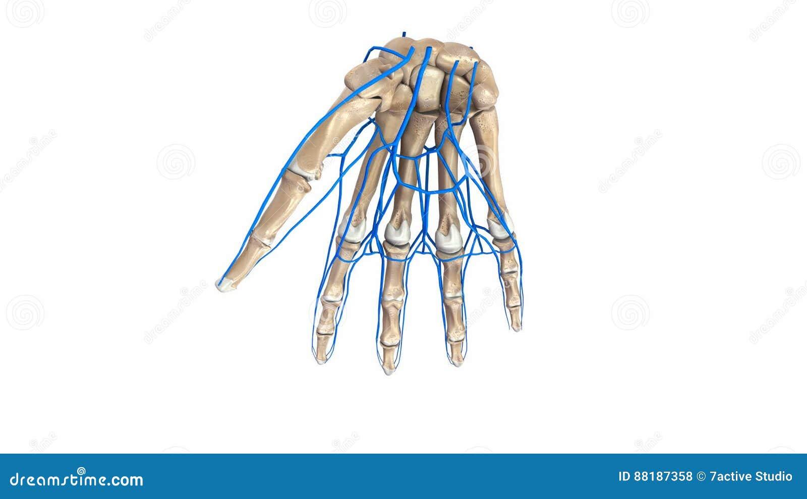 Palmen-Knochen mit Adern stock footage. Illustration von finger ...