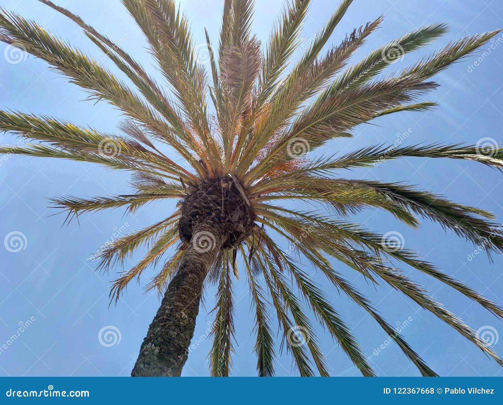 Palmenhimmelblau