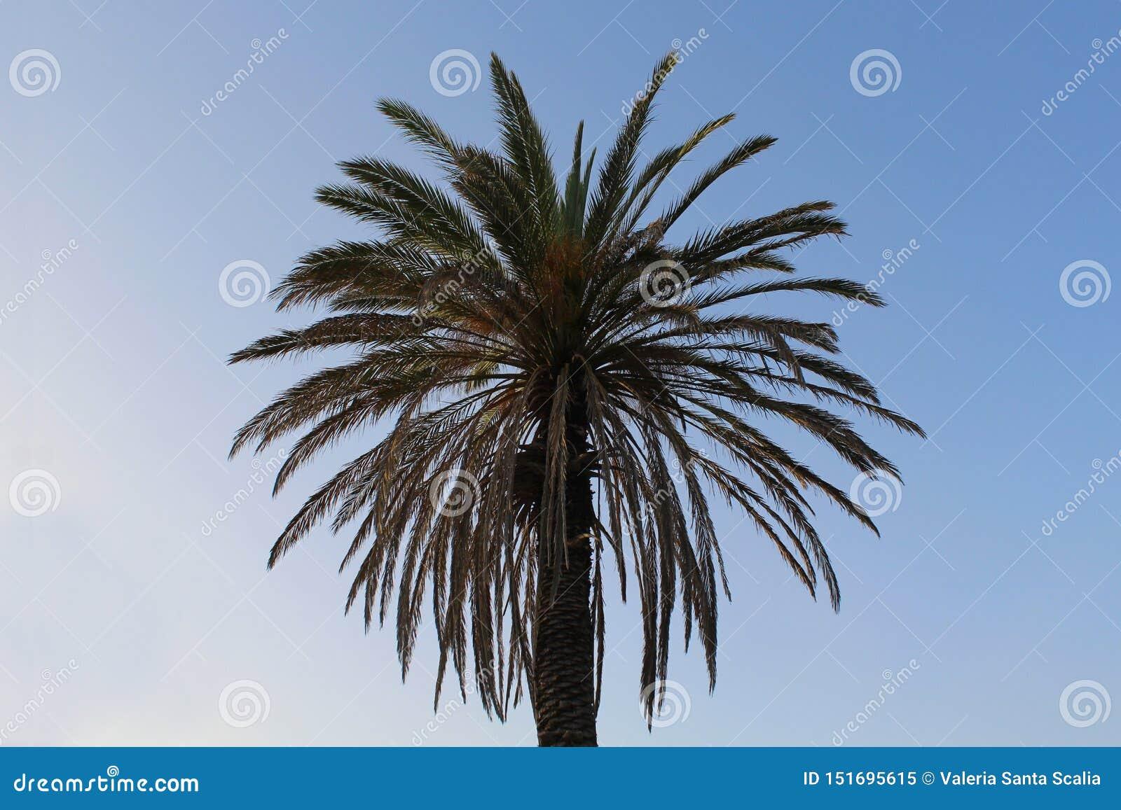 Palmera contra el cielo azul ¡Sus hojas como un sol encenderán para arriba su día!