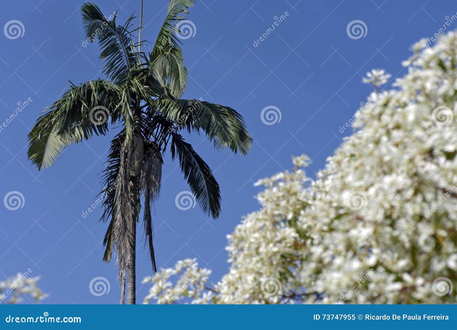 Palmera Enmarcada Por Las Flores Blancas Imagen de archivo - Imagen ...