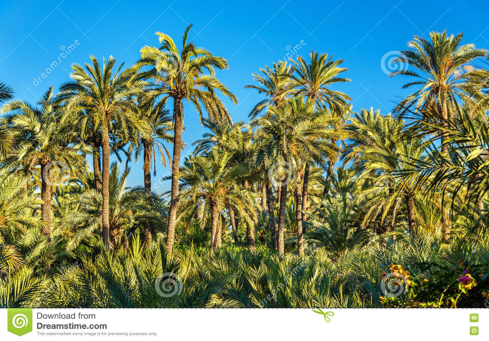Palmeral Elche, Ισπανία Περιοχή κληρονομιάς της ΟΥΝΕΣΚΟ