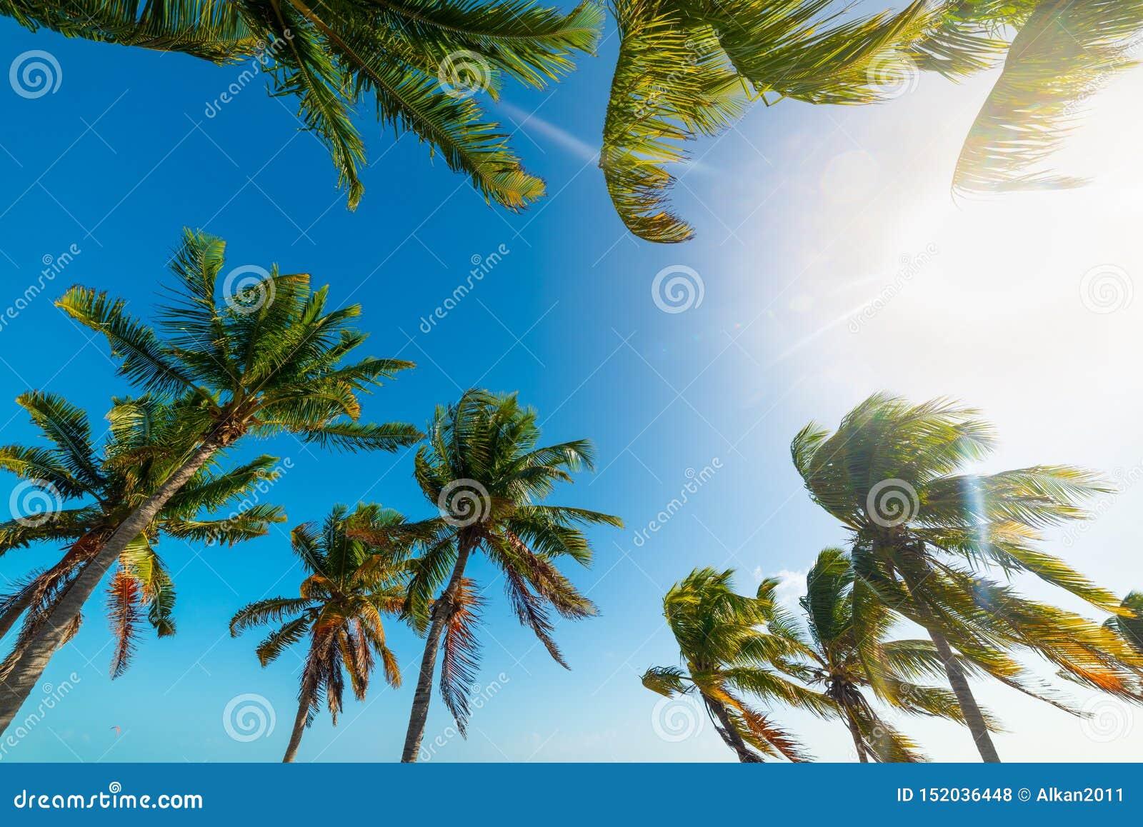 Palmeras del coco debajo de un sol brillante en Key West