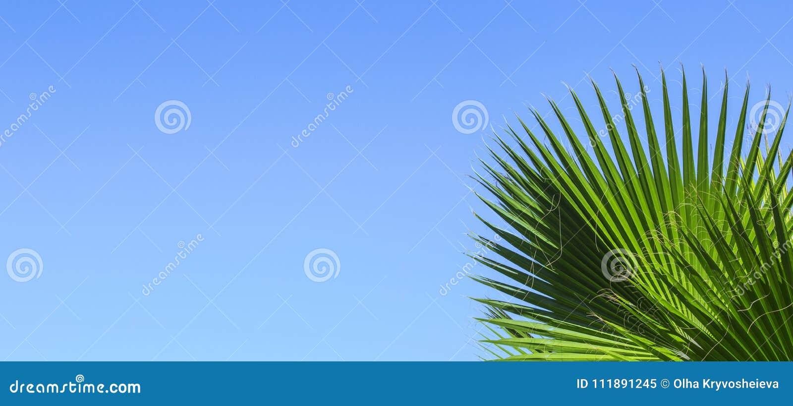 Palmettes Vertes Sur Un Fond Clair Bleu De Ciel Isolez Les Feuilles Du Palmier Dattier Pour La Banniere Publicite Carte Visite Professionnelle