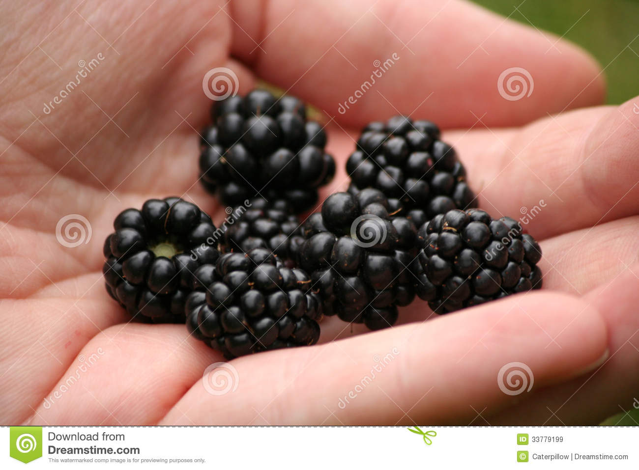 Palmful Of Blackberries Stock Image Culture