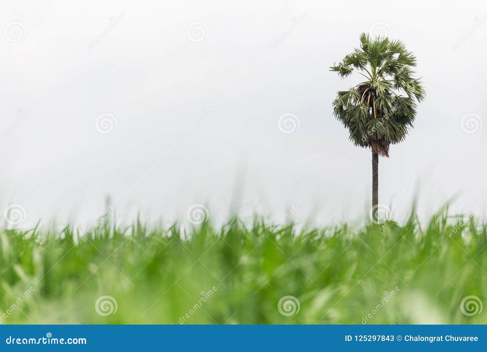 Palmier à sucre dans la ferme de maïs