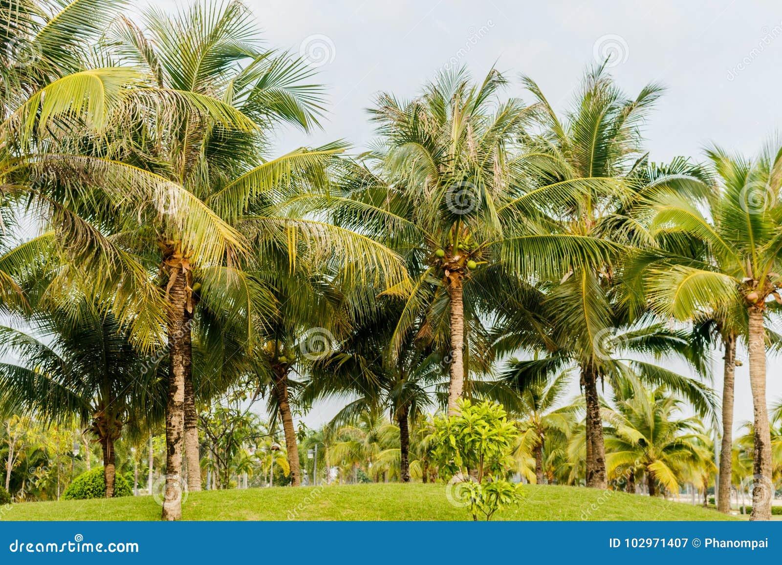 palmier herbe