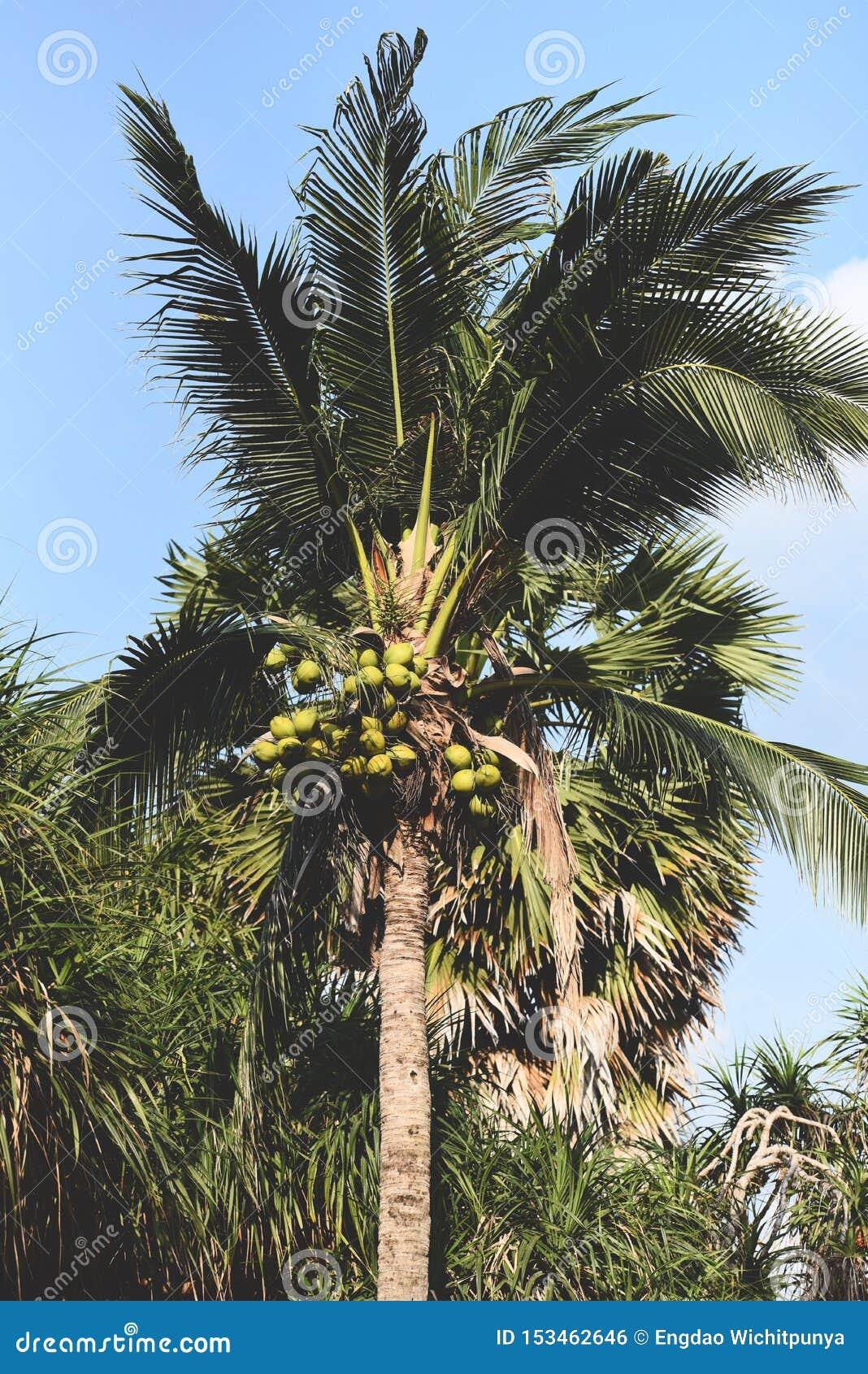 Palmier de noix de coco et fruit de noix de coco dans le jardin tropical