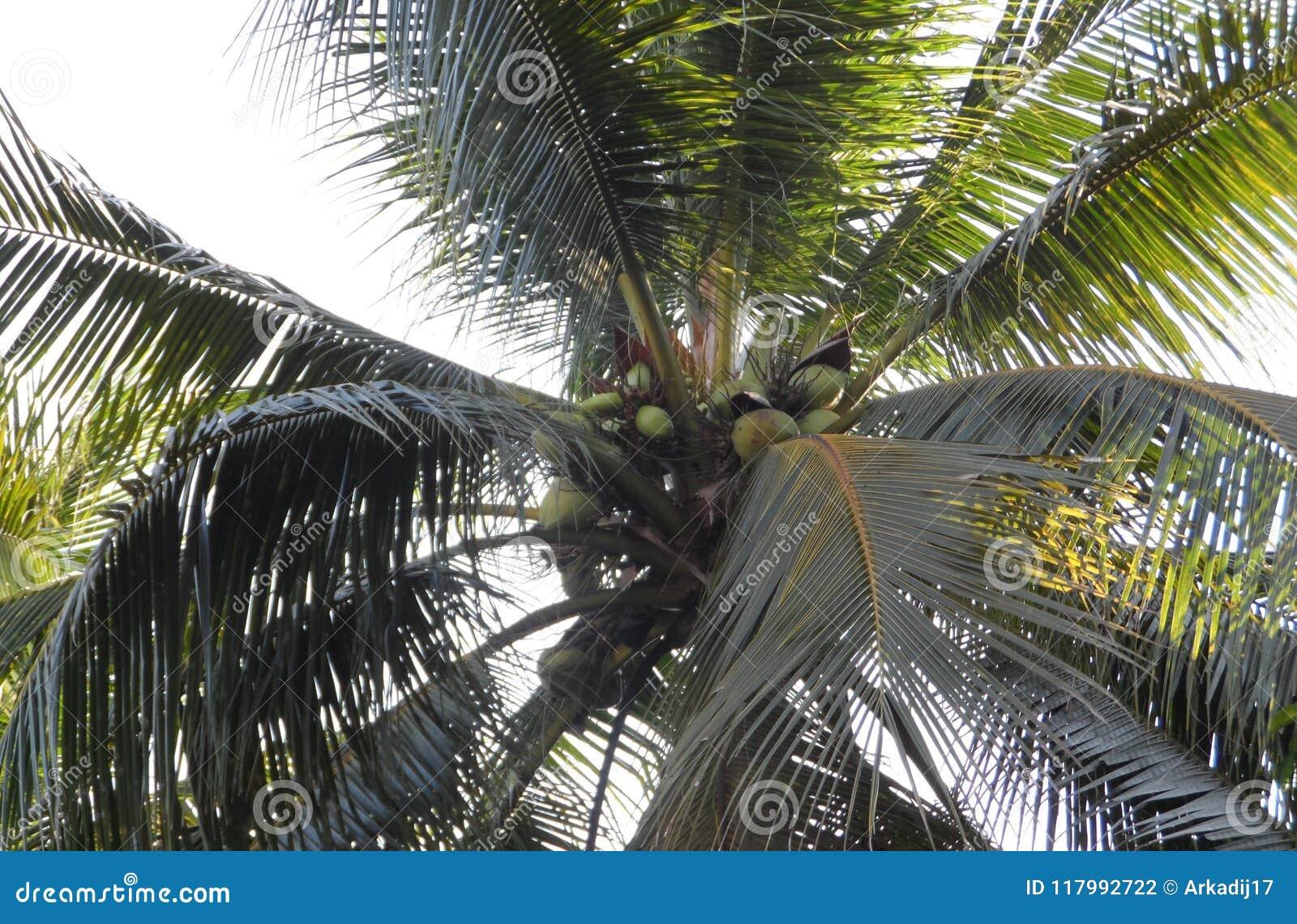 Palmier de noix de coco avec des noix de coco stock photos - Palmier noix de coco ...