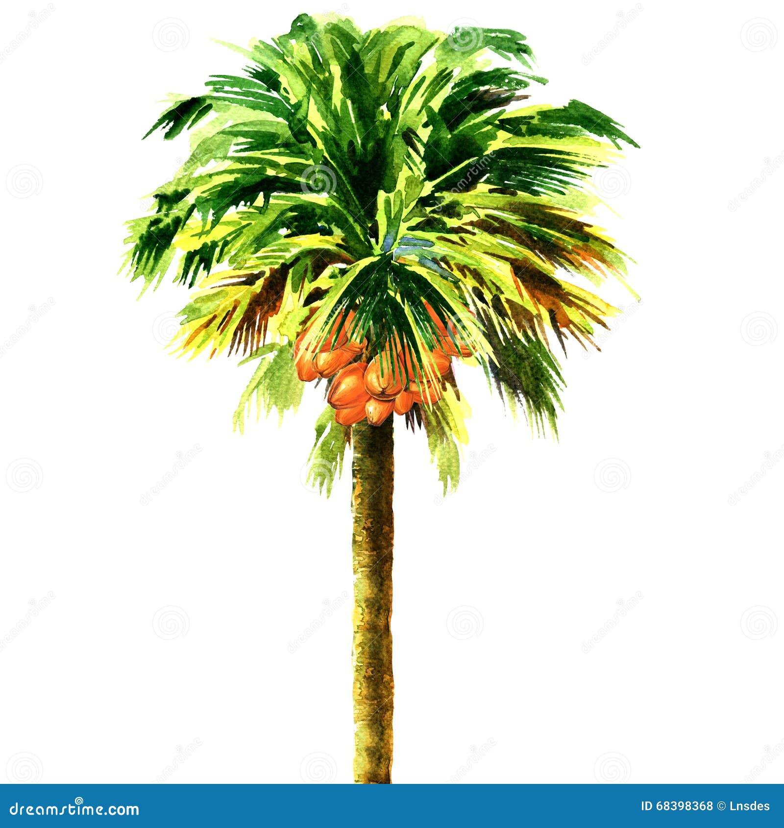 Palmier de noix de coco d isolement, illustration d aquarelle