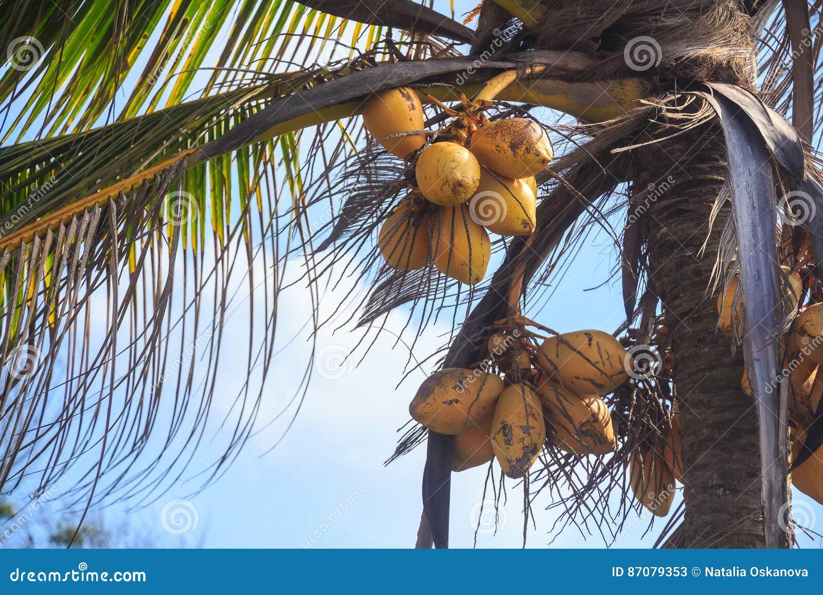 Palmier de noix de coco sous le ciel bleu