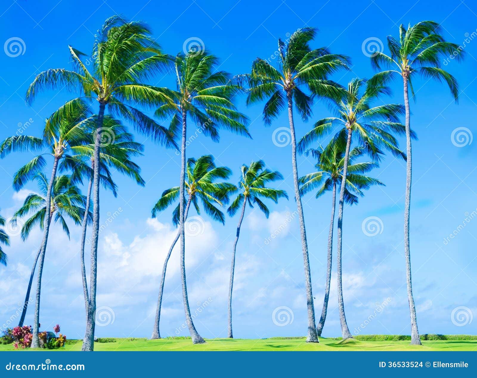 Palmier de noix de coco sur la plage dans hawai photo - Palmier noix de coco ...