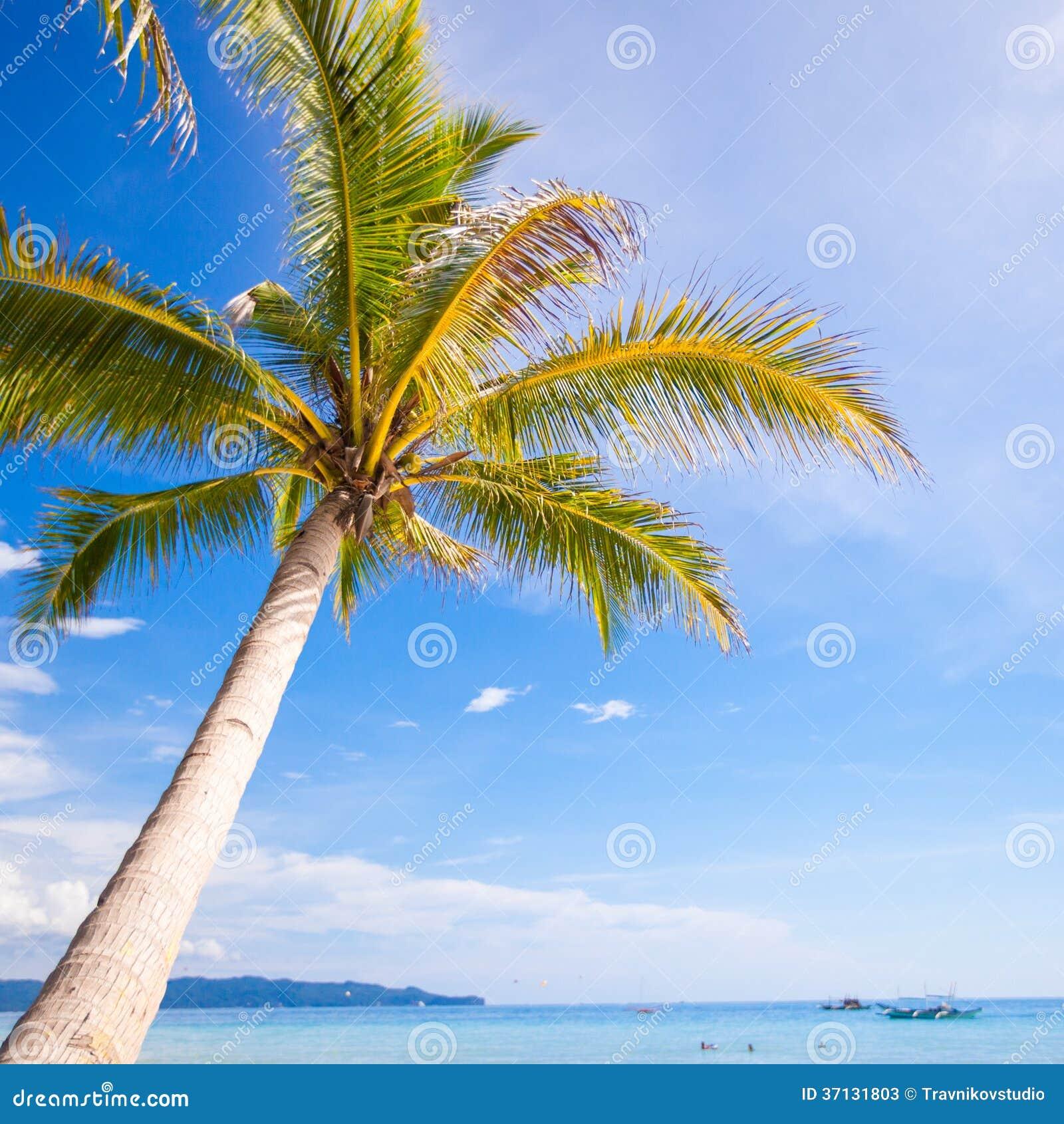 Palmier de noix de coco sur le fond de plage sablonneuse - Palmier noix de coco ...