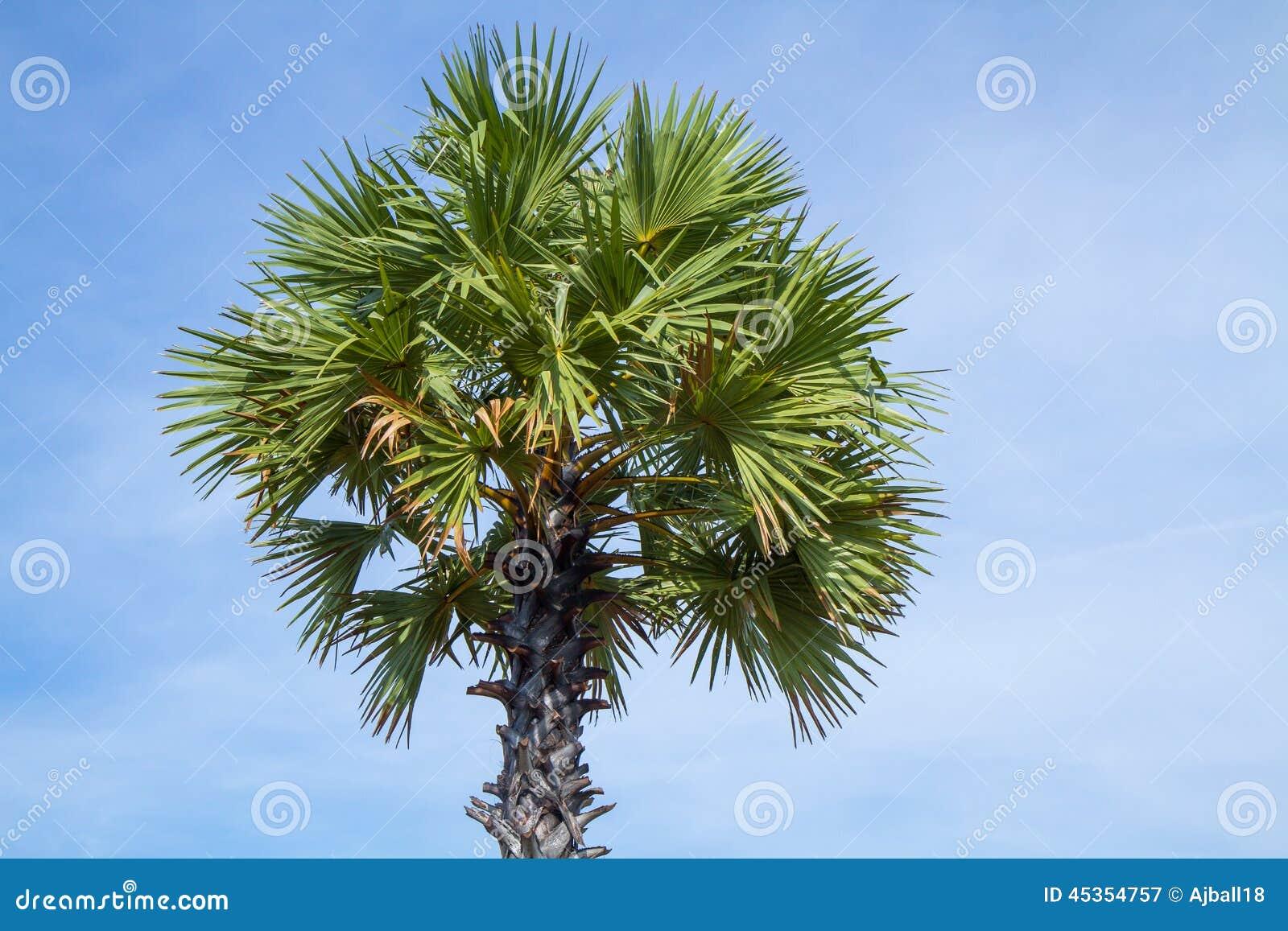 Palmier de sucre