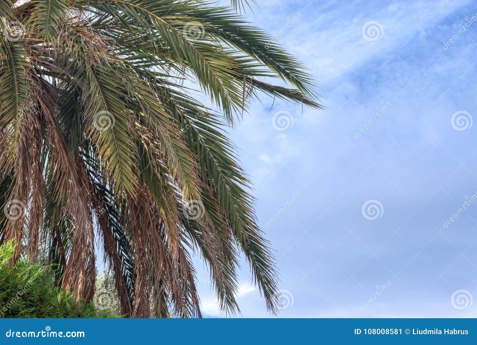 palmier en espagnol