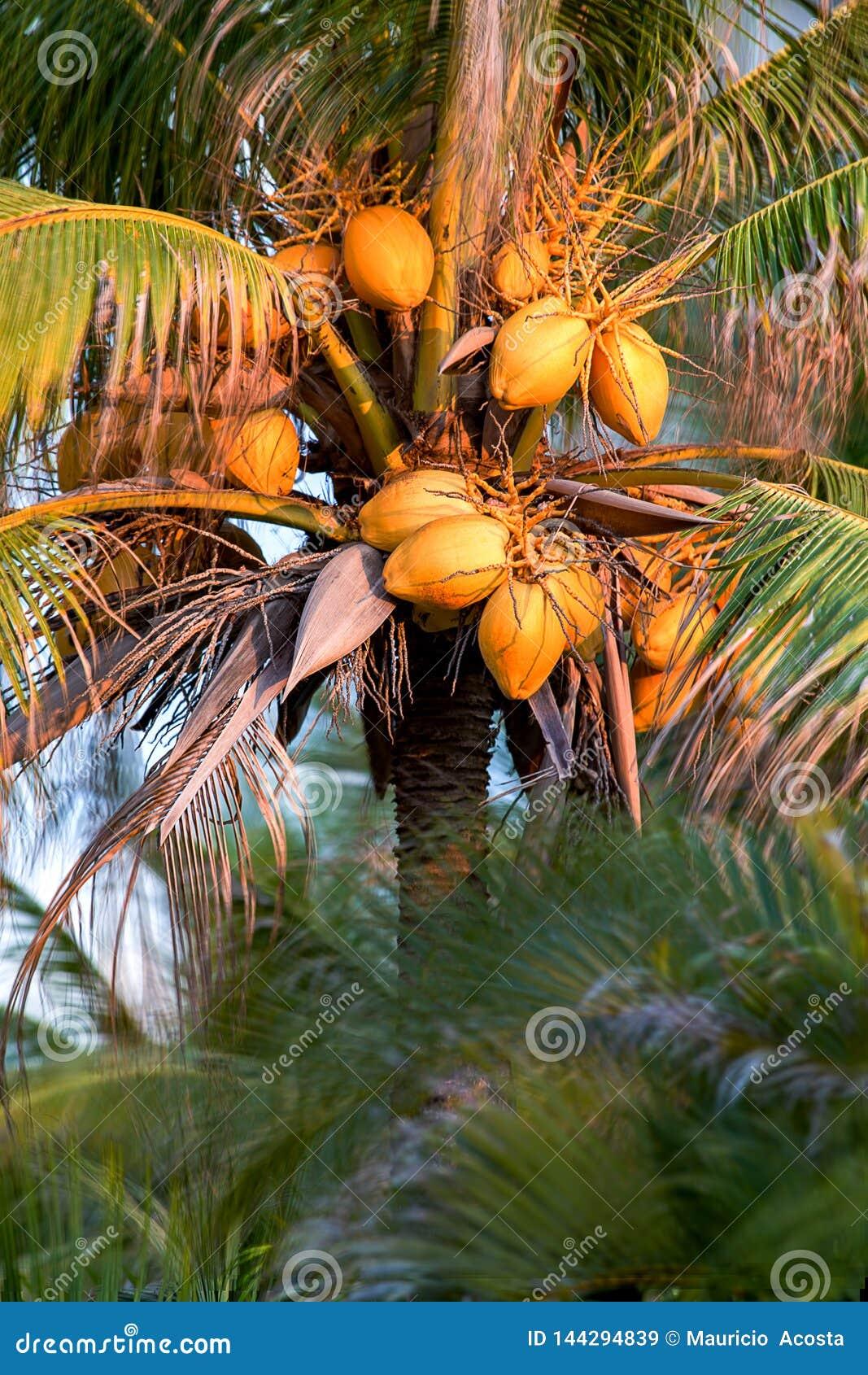 Palmier rempli de noix de coco au coucher du soleil