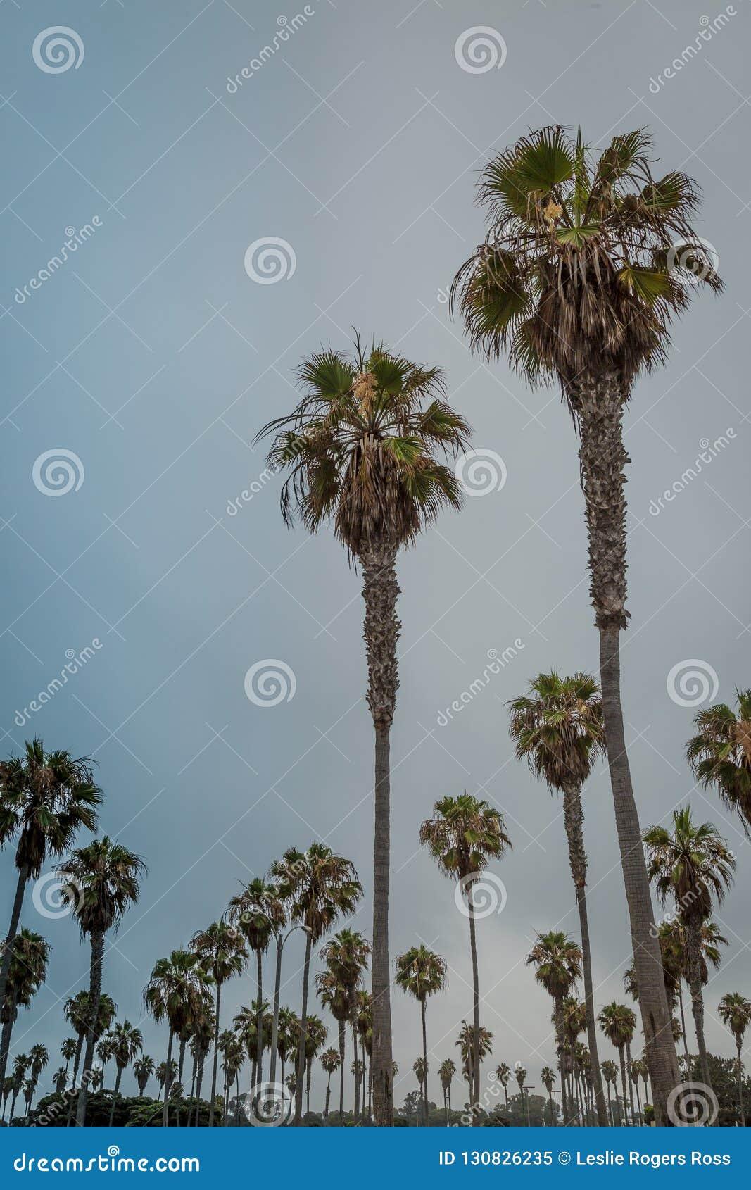 Palmiers en abondance