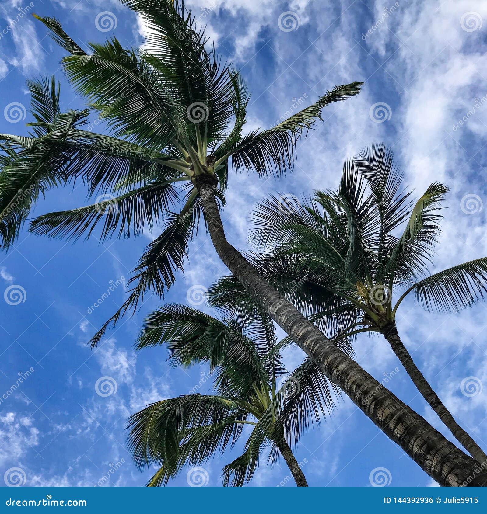 Palmiers hawa?ens