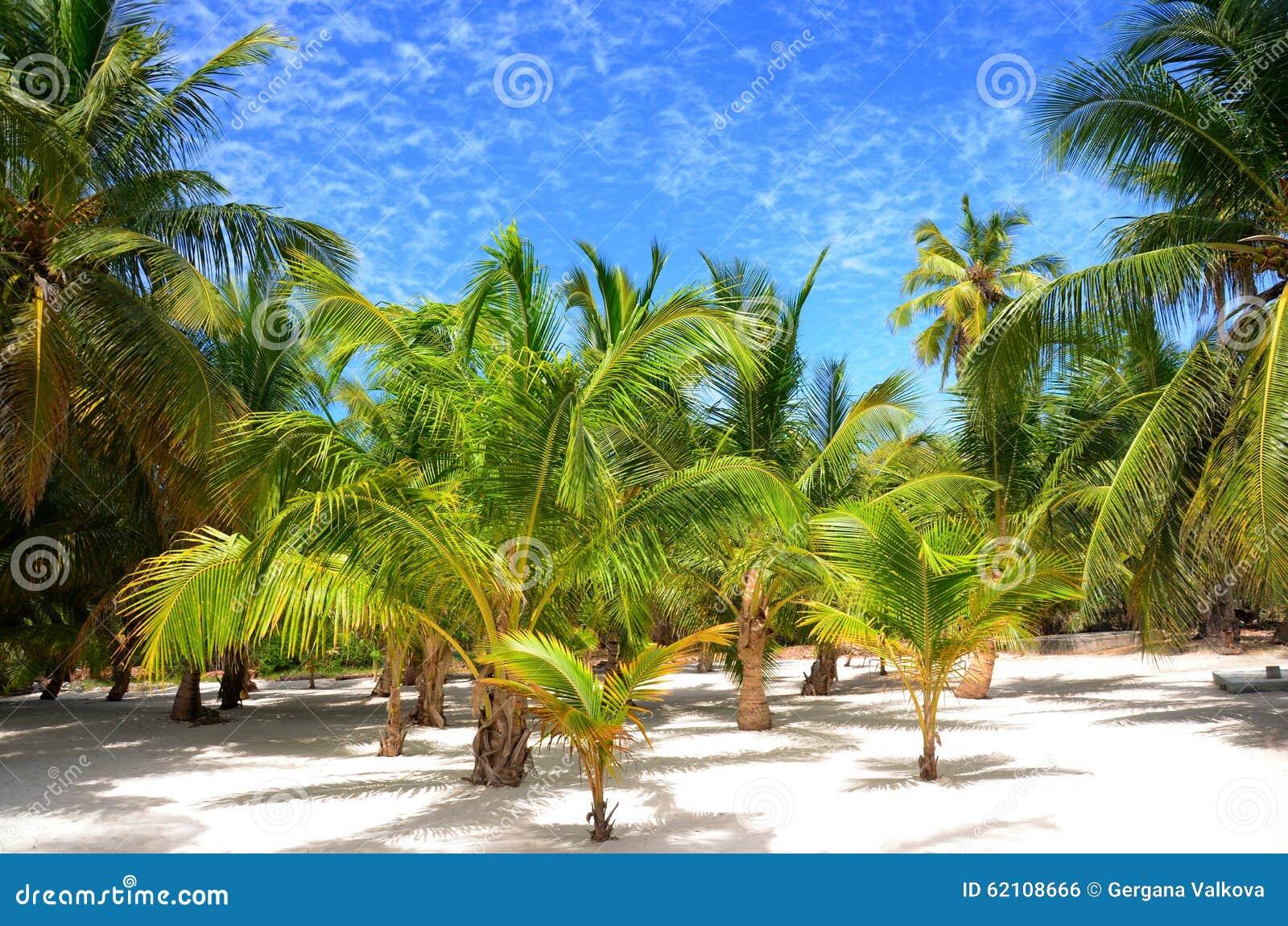 Palmträd på den tropiska ön Saona