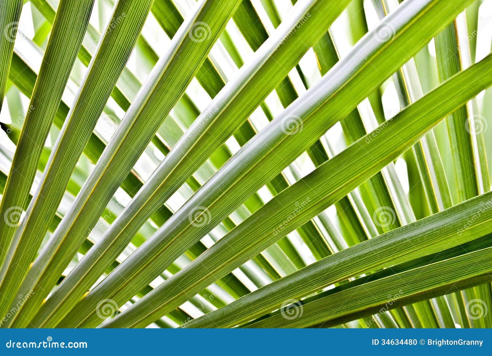 Palmträdsidor