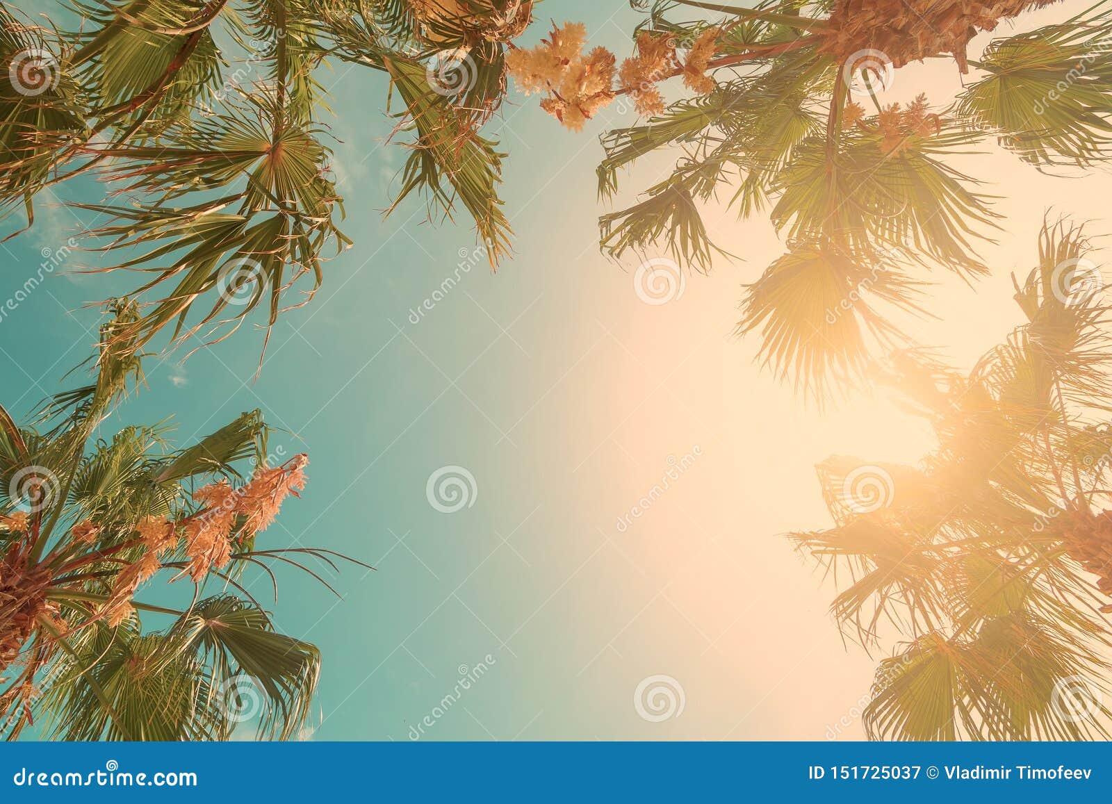 Palmtr?det kr?nar med gr?na sidor p? solig himmelbakgrund Cocopalmtr?dblast - sikt fr?n jordningen Palmblad p? solig himmel