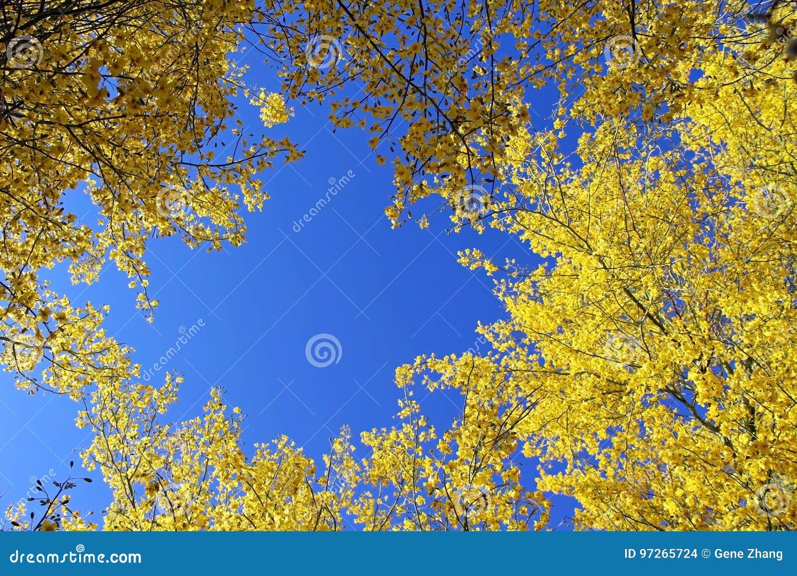 Palo Verde Arizona State Tree Stock Photo Image Of Flowers Blue