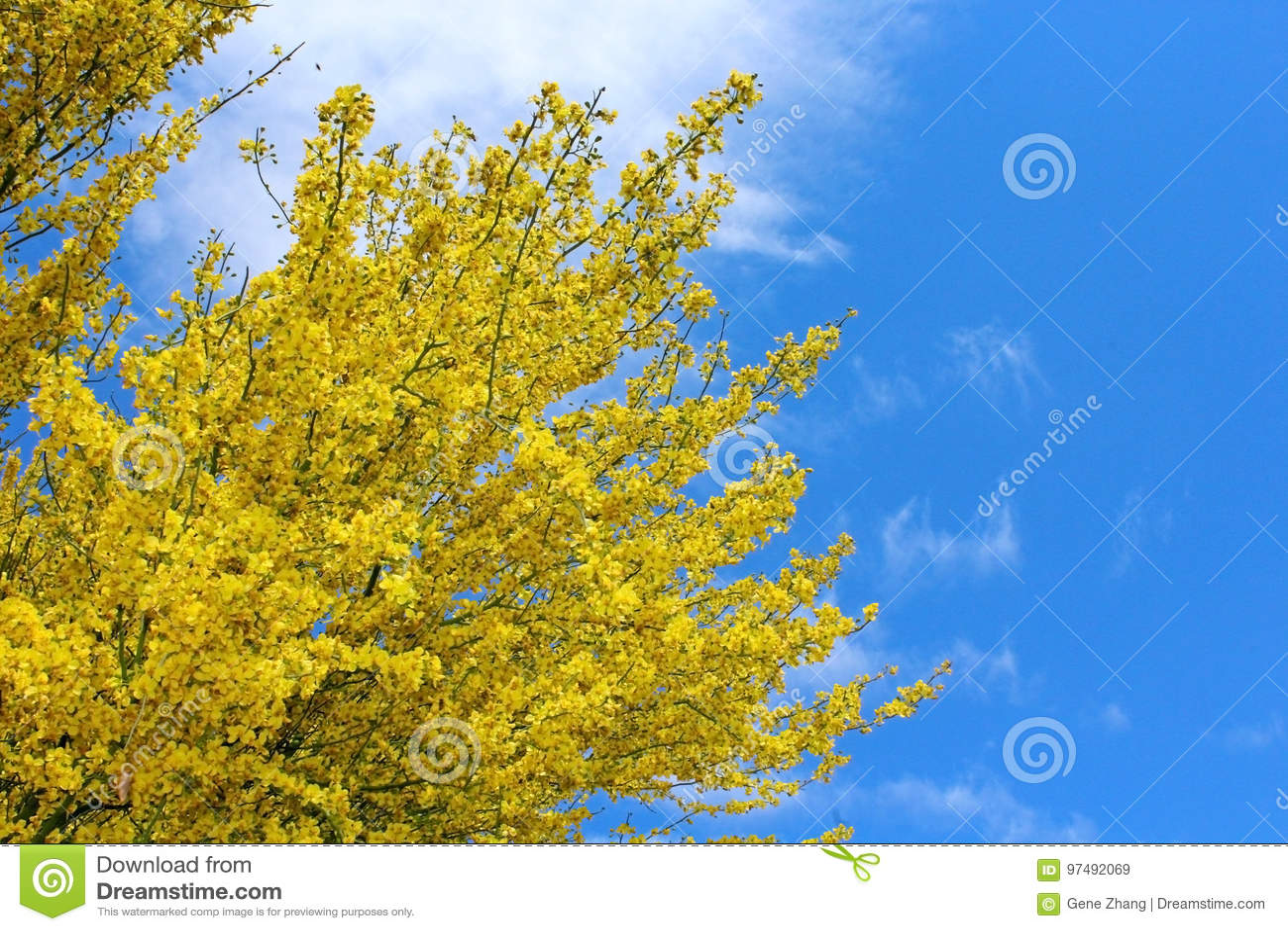 Palo Verde, l albero dello stato dell Arizona
