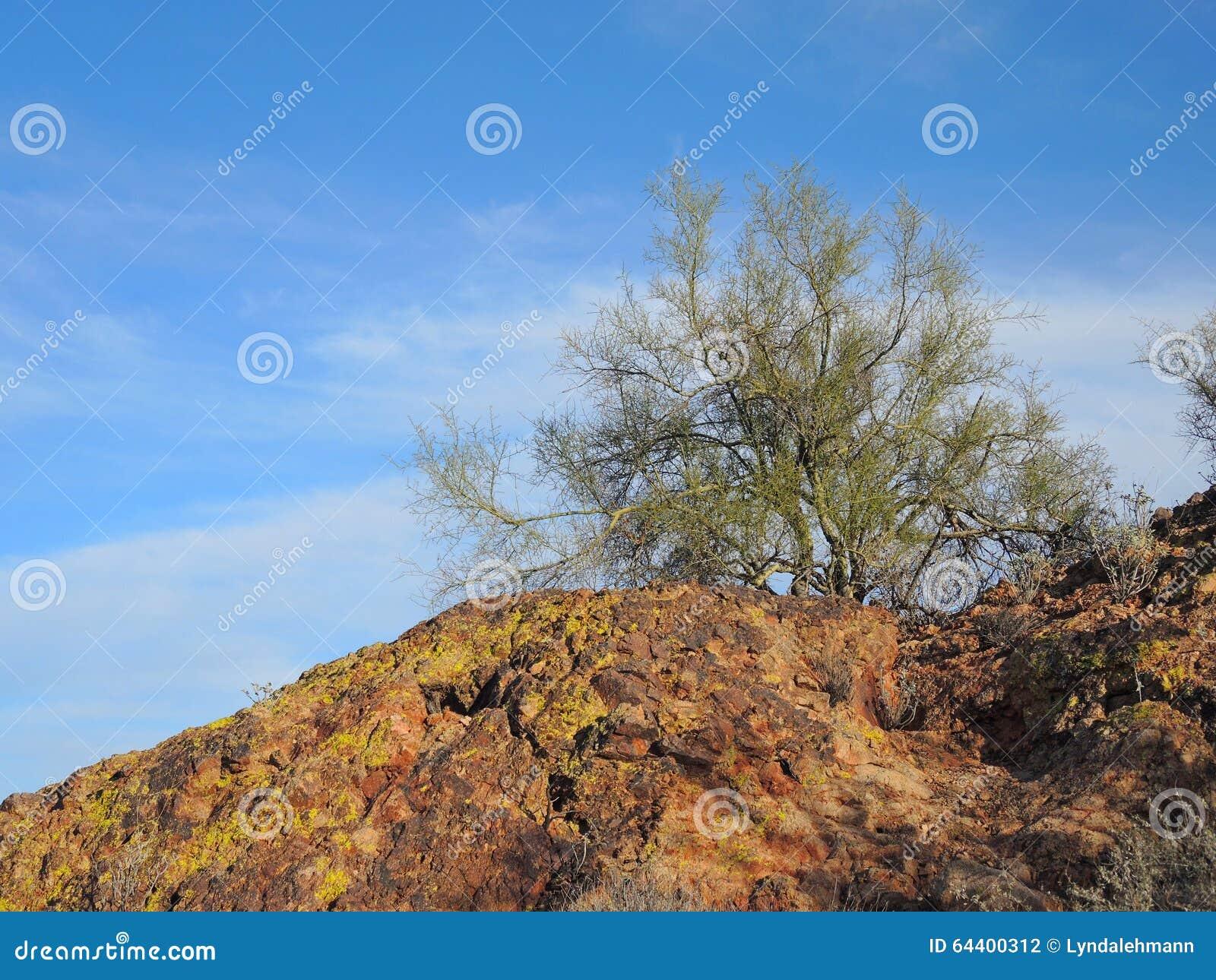 Palo Verde Tree Above De Rode Klip Stock Foto Afbeelding Bestaande