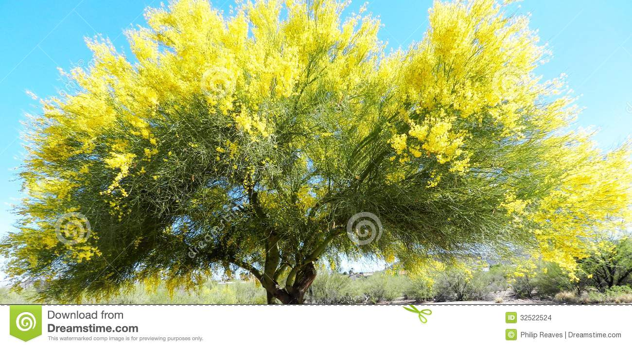 Palo Verde Tree Stock Images Image 32522524