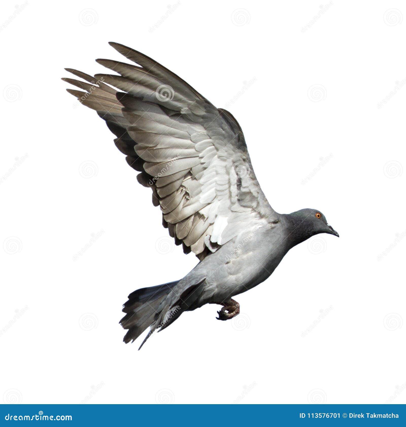 Paloma del vuelo aislada imagen de archivo. Imagen de animal - 113576701