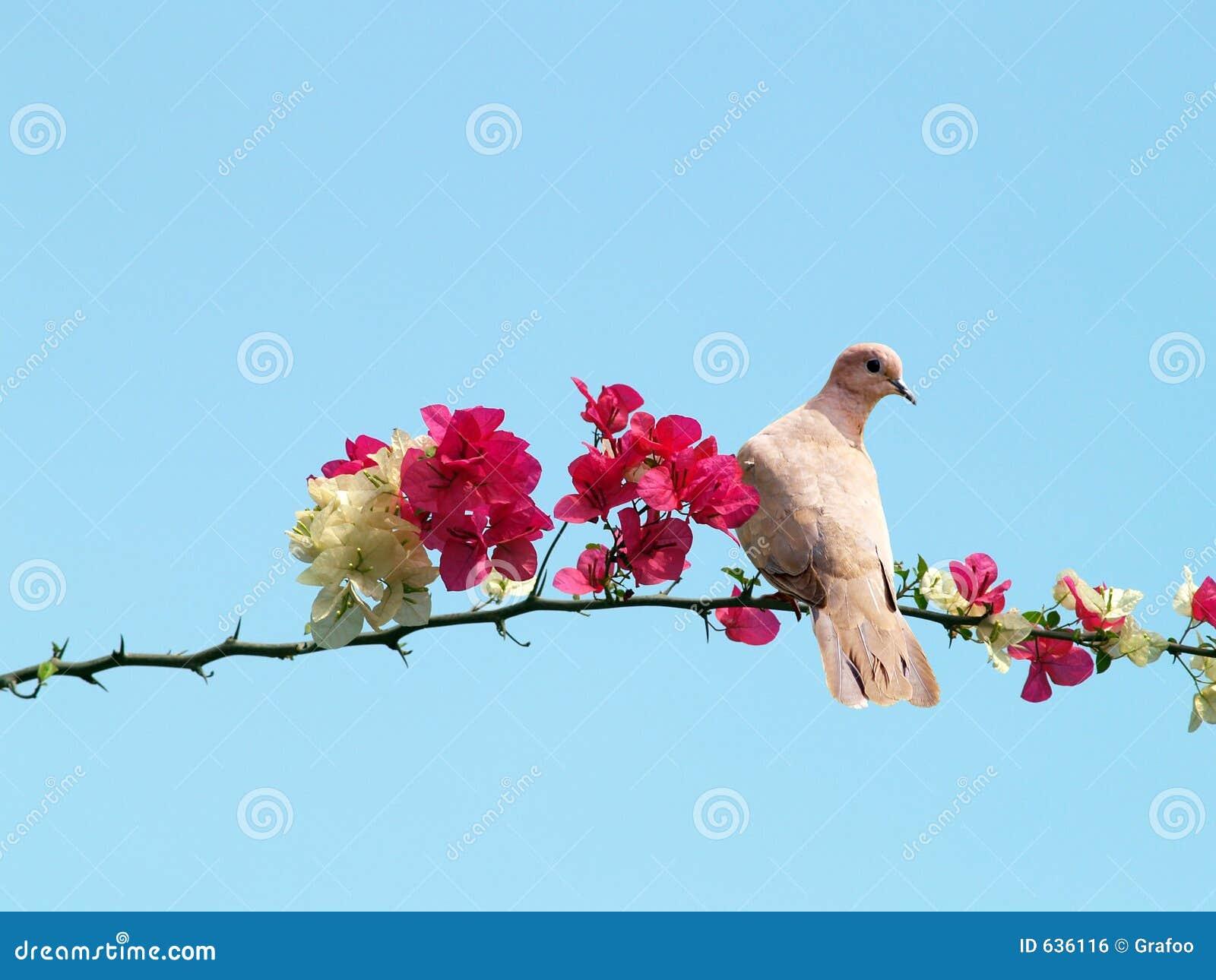 Paloma en la ramificación floreciente
