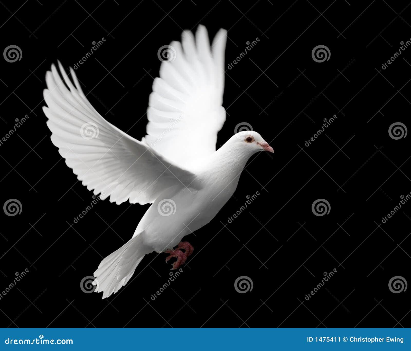 Paloma en vuelo 1 del blanco