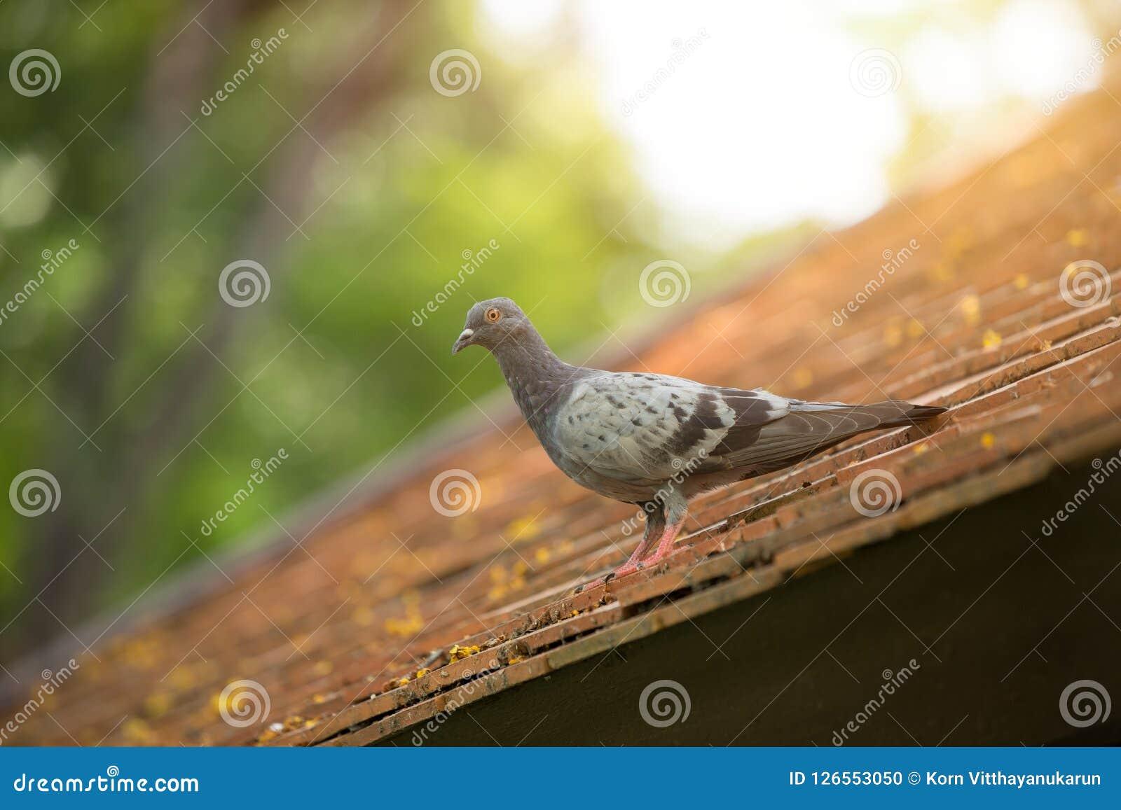 Palomas y pájaro de las palomas roosting en el tejado