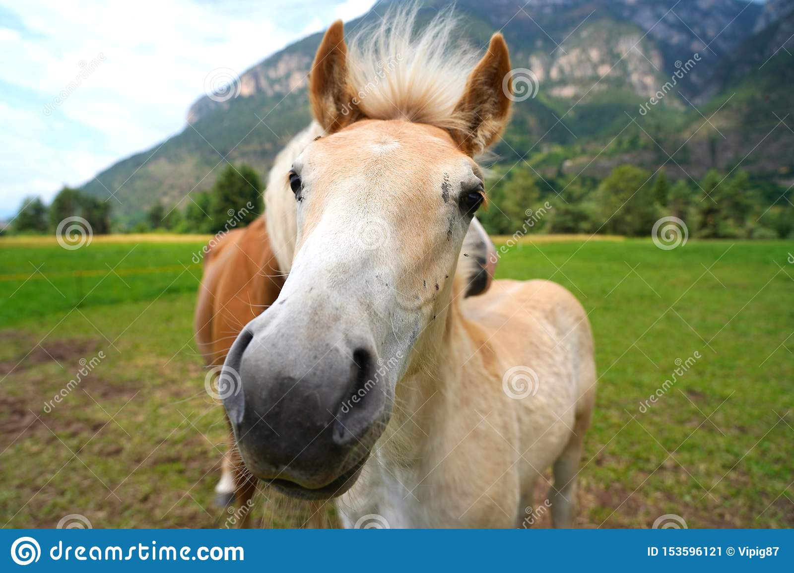 Palomino Horse Avelignese The Haflinger A Breed Of Horse Deve Stock Image Image Of Chestnut Equestrian 153596121