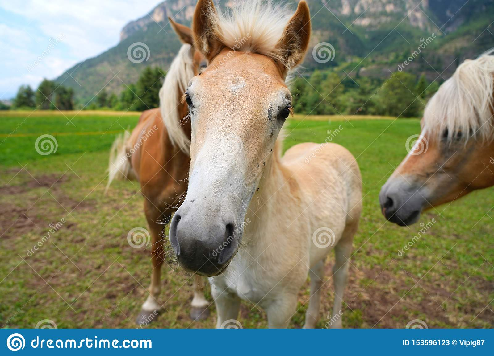Palomino Horse Avelignese The Haflinger A Breed Of Horse Deve Stock Image Image Of Grass Field 153596123