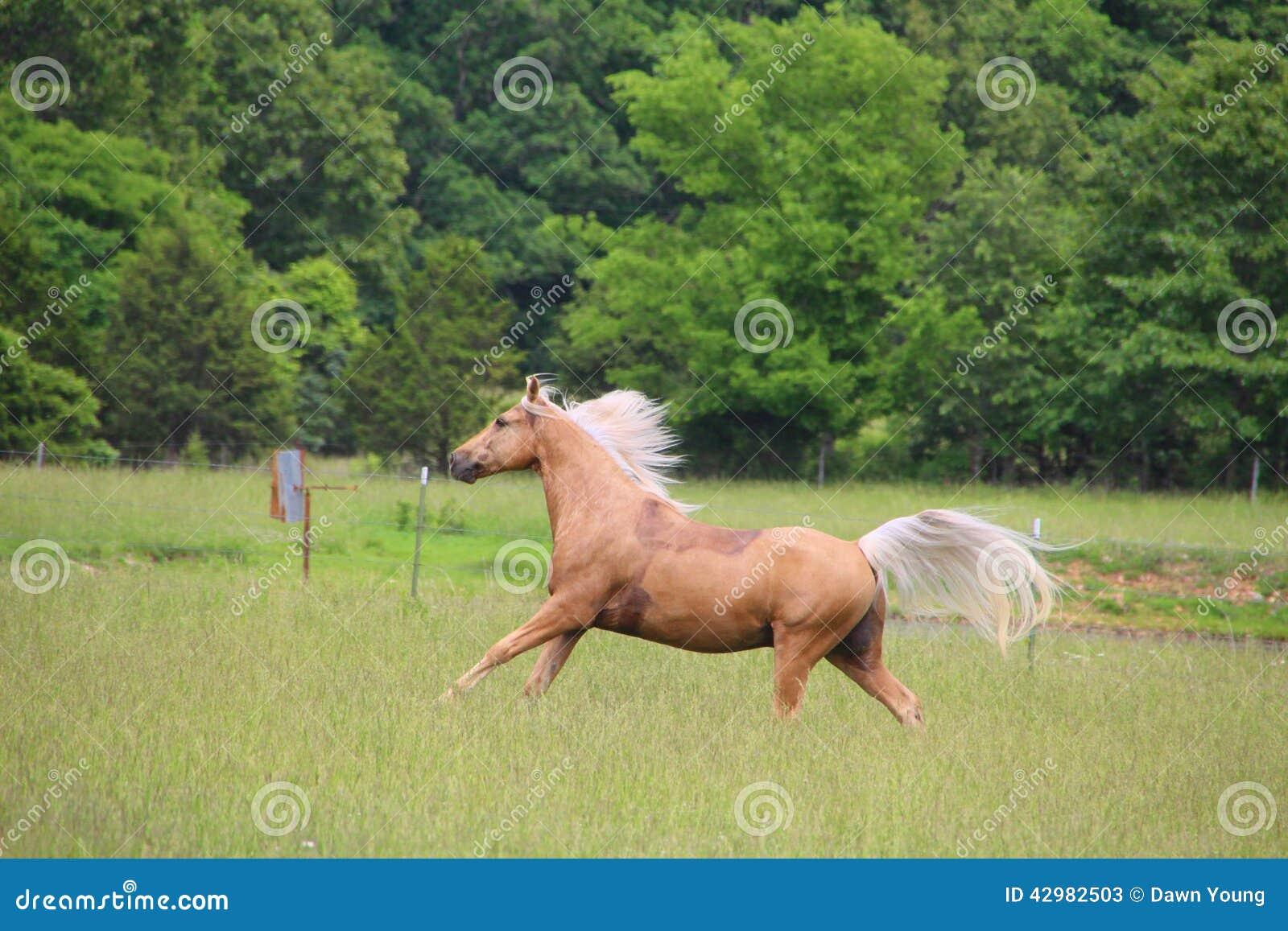 Palomino konia bieg